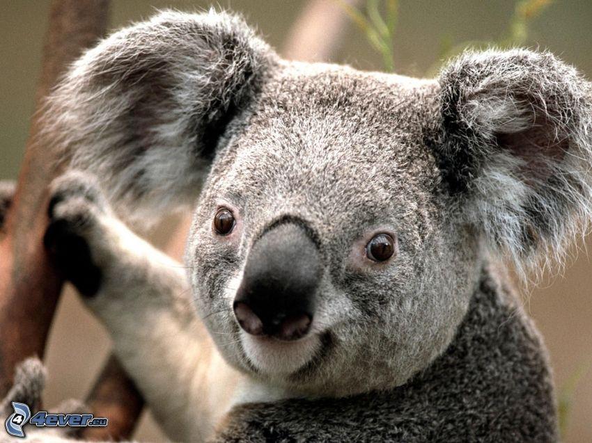koala, ssak