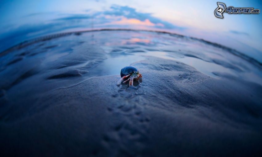 krab, muszla
