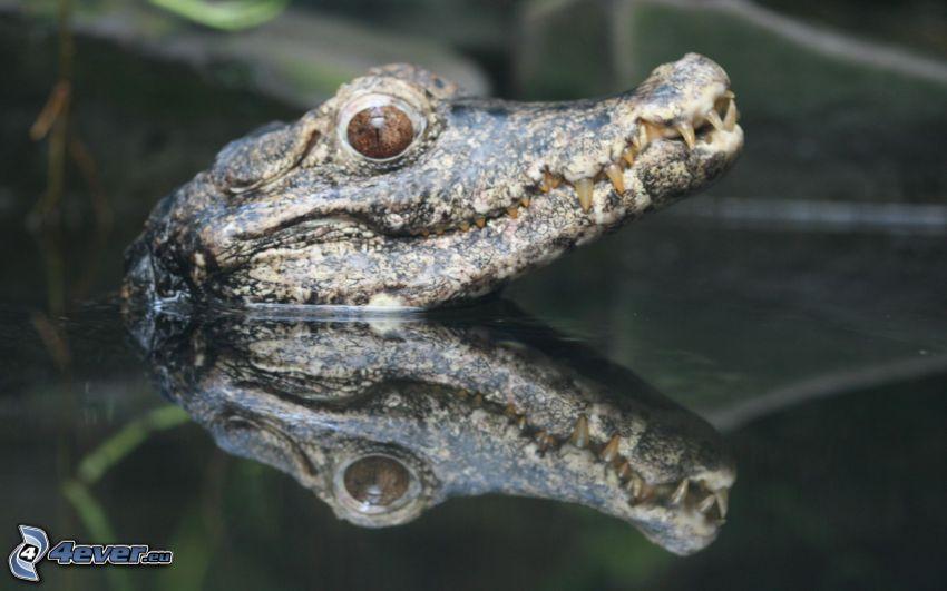 krokodyl, woda