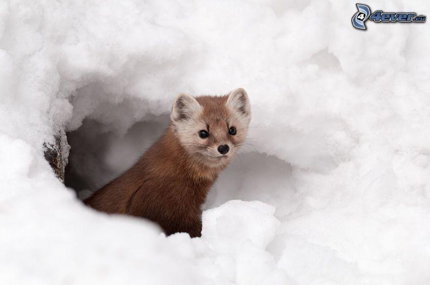 Kuna, śnieg