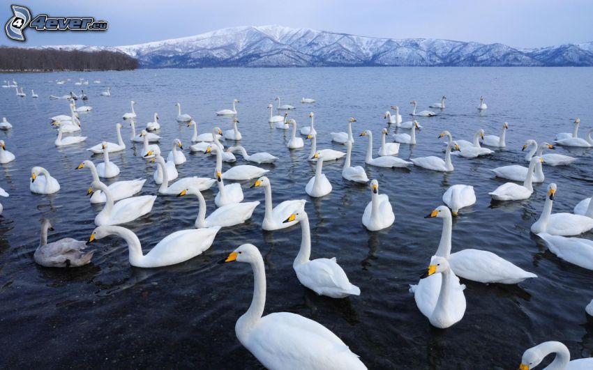 łabędzie, jezioro, zaśnieżone pasmo górskie