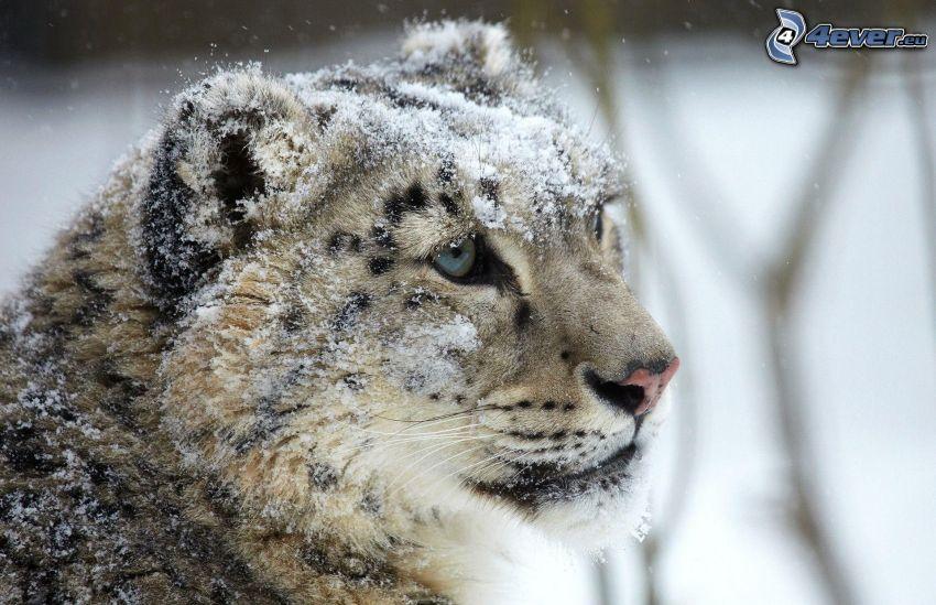 lampart, śnieg