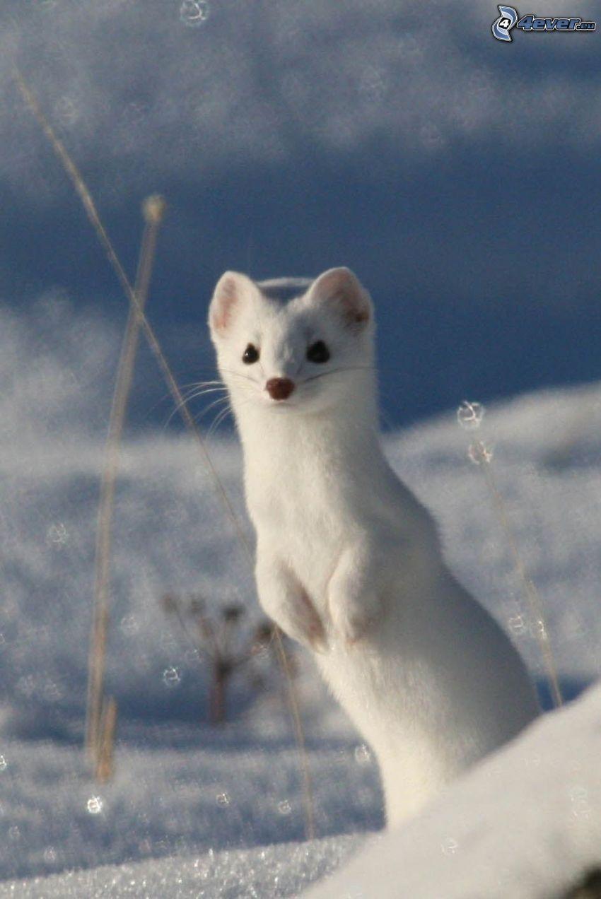 łasica, śnieg
