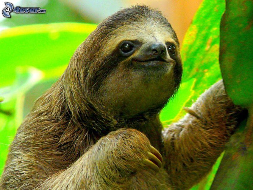 leniwiec, zielone liście
