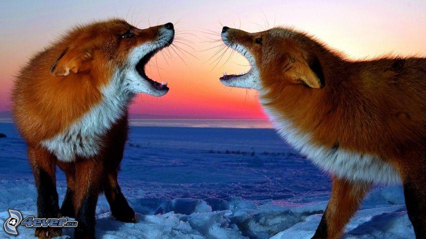 lisy, skomlenie, śnieg