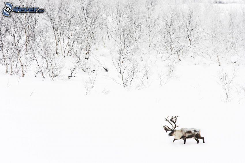 łoś, śnieg, śnieżny krajobraz