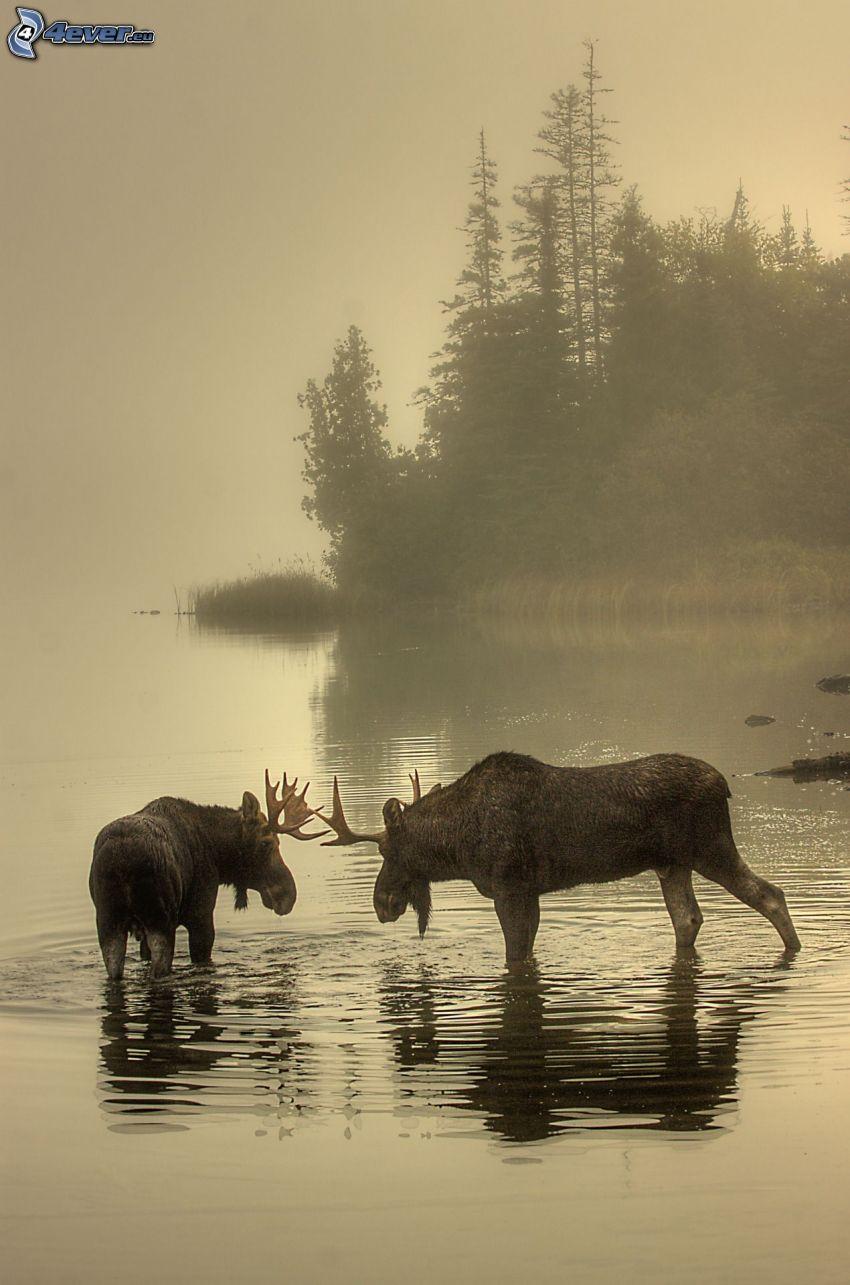 łosie, mgła, las iglasty, jezioro