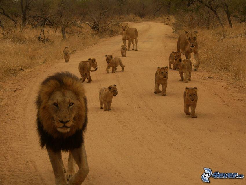 lwy, lwice, lwiątka, rodzina