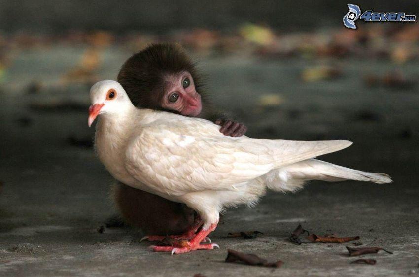 małpa, gołąb, przyjaźń