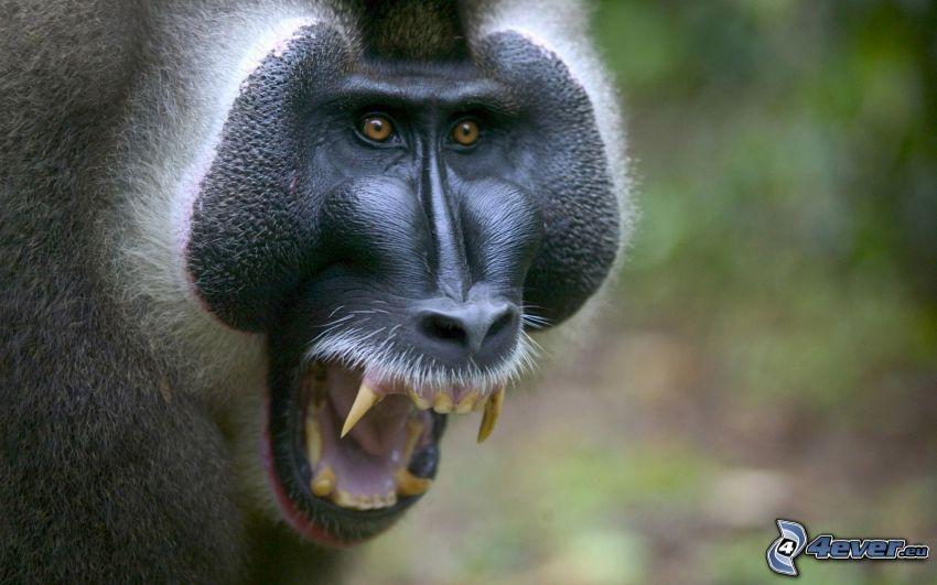 małpa, krzyk