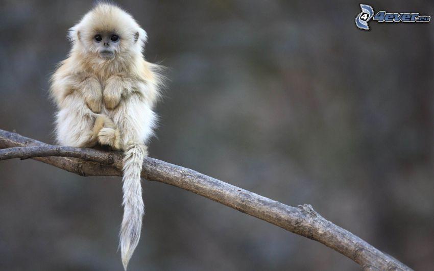 małpka, młode, konar