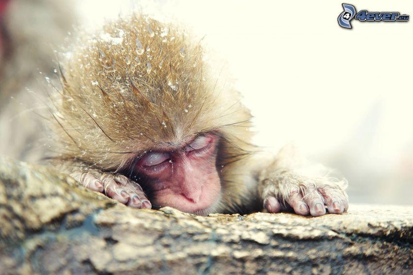 małpka, spanie, śnieg