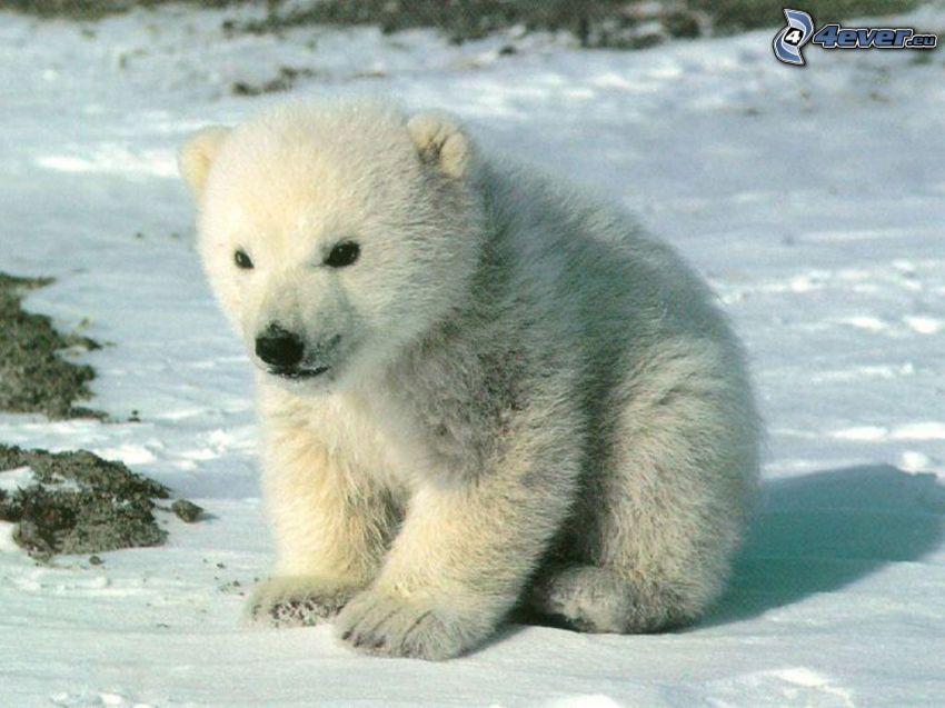 mały miś, młode, niedźwiedź polarny, biegun północny, zima, śnieg