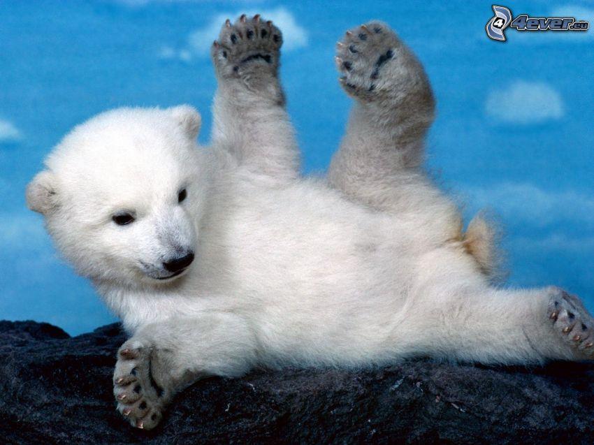mały miś, niedźwiedź polarny