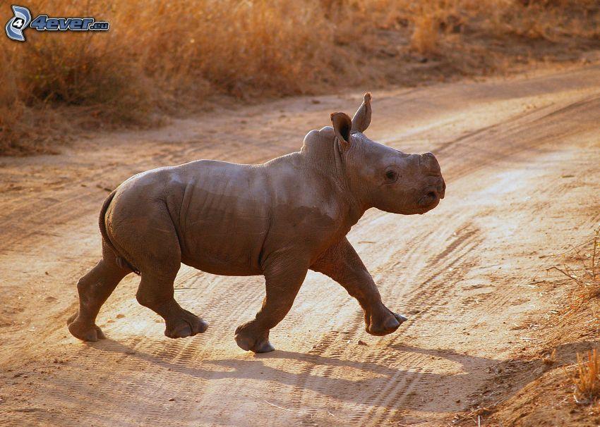 mały nosorożec, polna droga