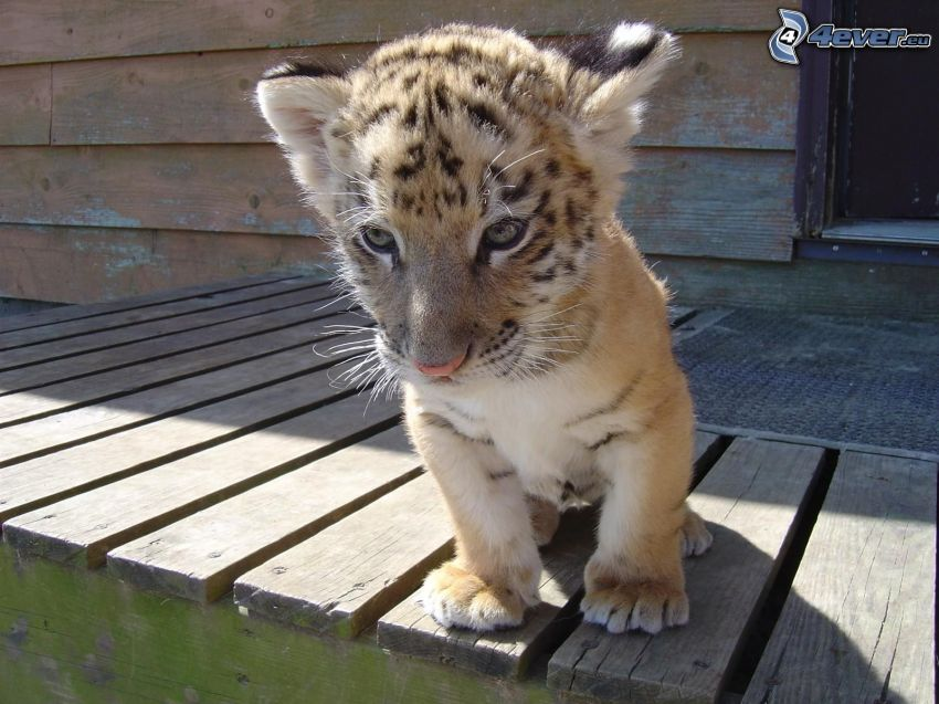 mały tygrysek