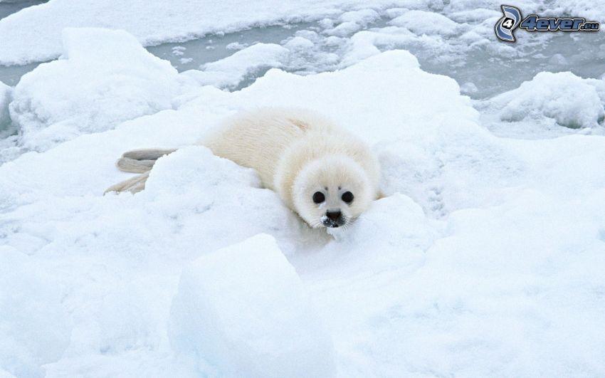 młoda foczka, śnieg, kry
