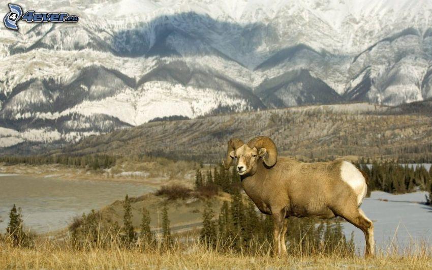 muflon, zaśnieżone góry, jezioro, drzewa iglaste