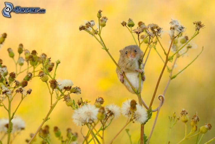 mysz, polne trawy