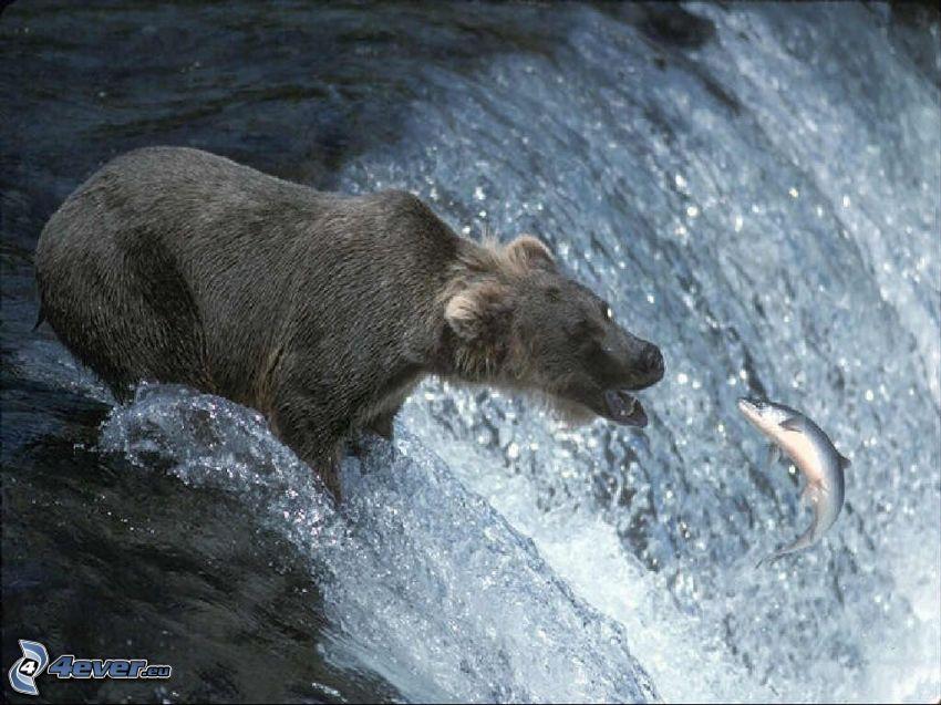 niedźwiedź, ryba, połów, wodospad, łosoś