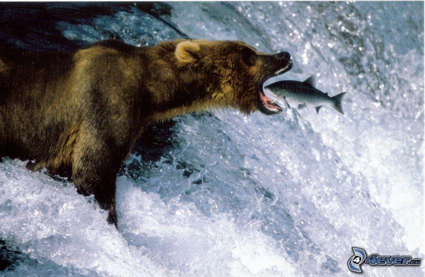 niedźwiedź, ryba, wodospad, łup, łosoś