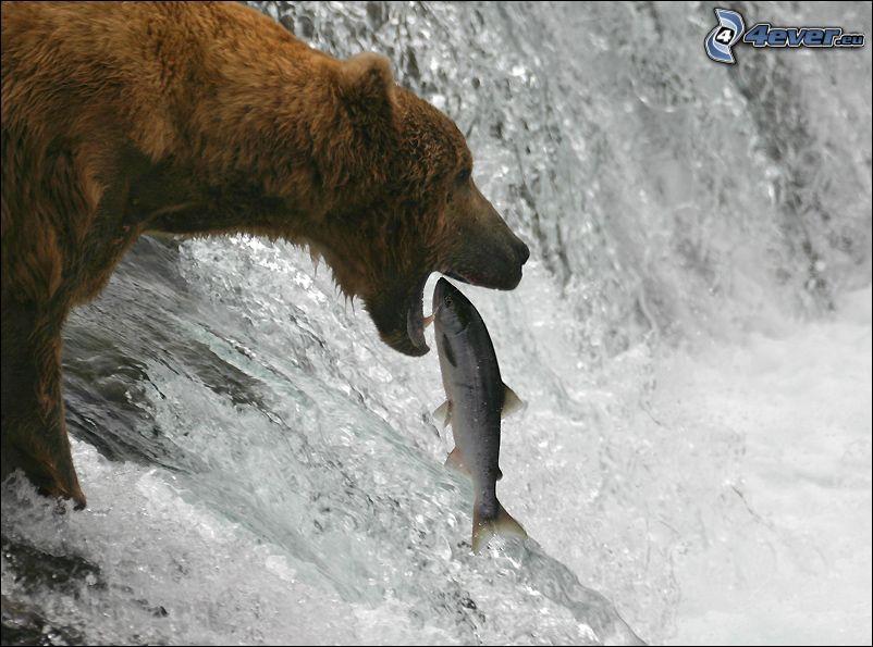 niedźwiedź, ryba, wodospad, połów, łosoś