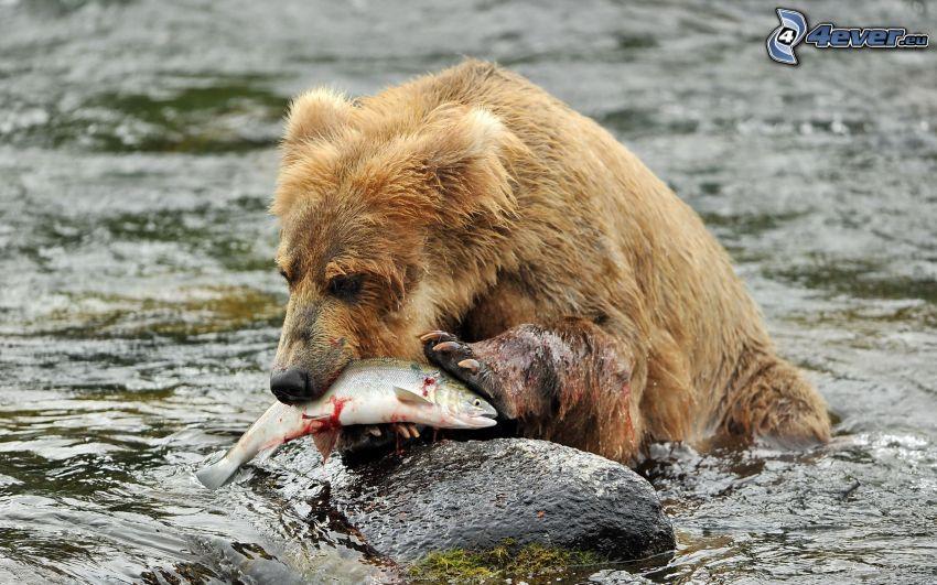 niedźwiedź brunatny, ryba, zdobycz, woda