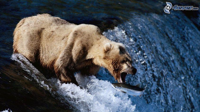 niedźwiedź brunatny, wodospad, ryba, zdobycz, pokarm