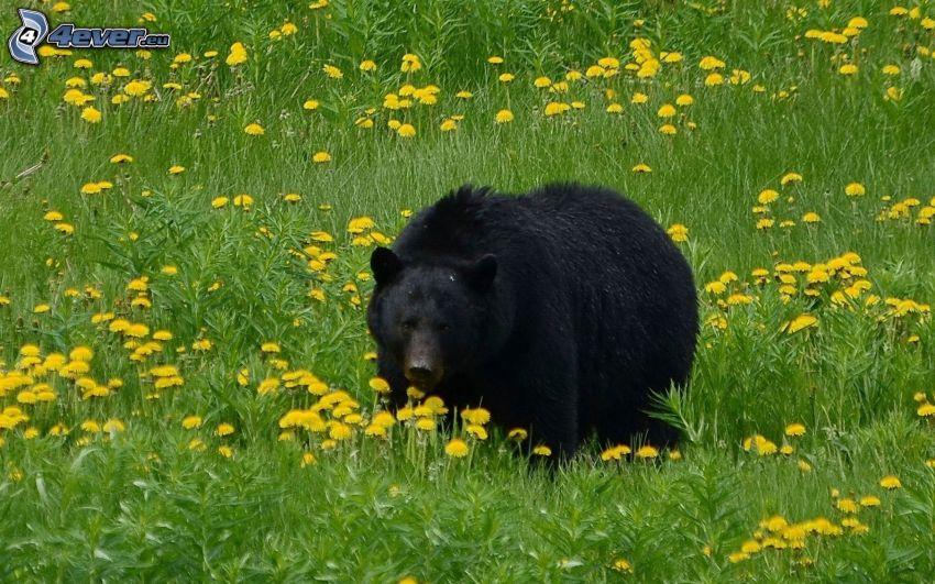 niedźwiedź czarny, łąka z mleczami