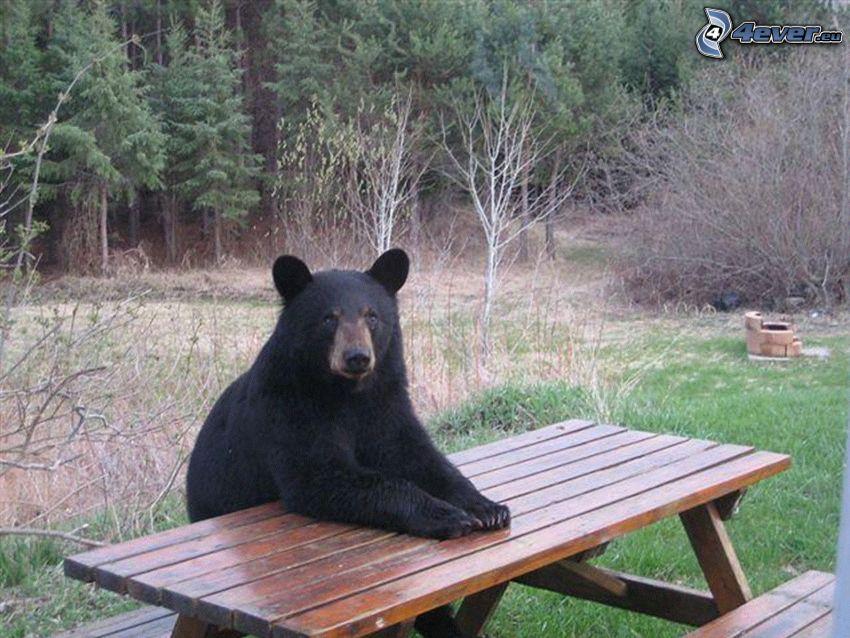 niedźwiedź czarny, stół