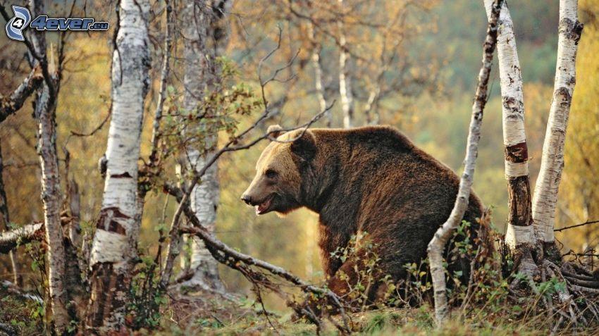 niedźwiedź grizzly, brzozy