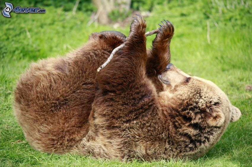 niedźwiedź grizzly, drewno, gra