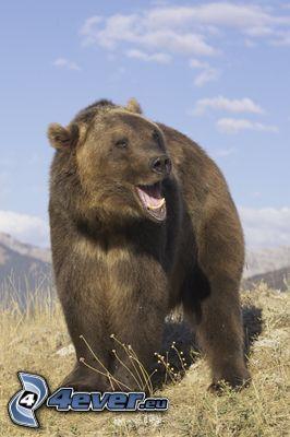 niedźwiedź grizzly, dzicz, przyroda