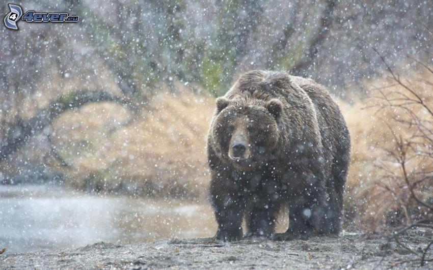 niedźwiedź grizzly, opady śniegu