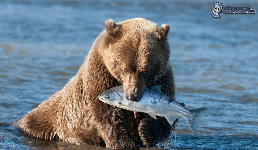 niedźwiedź grizzly, ryba, pokarm, woda