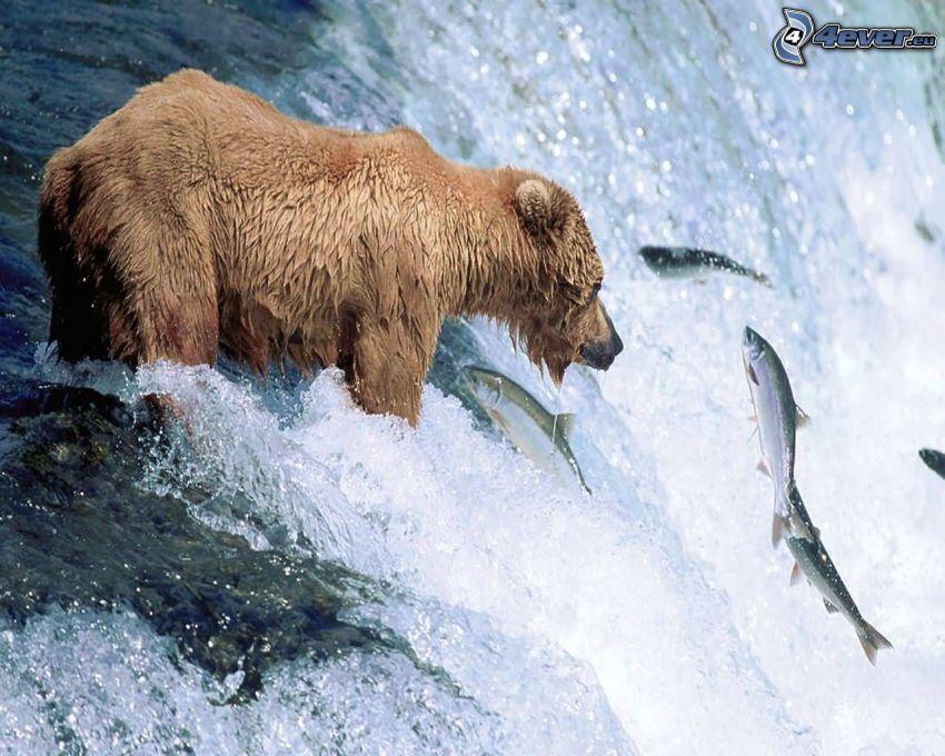 niedźwiedź grizzly, ryby, wodospad, połów
