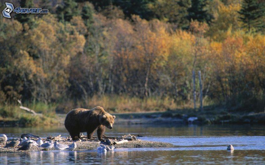 niedźwiedź grizzly, strumyk, mewy, jesienne drzewa