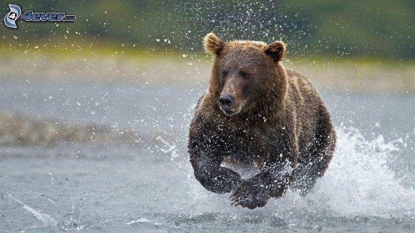 niedźwiedź grizzly, woda, bieg