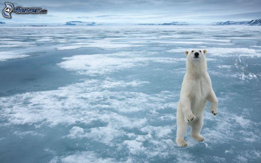 niedźwiedź polarny, kra