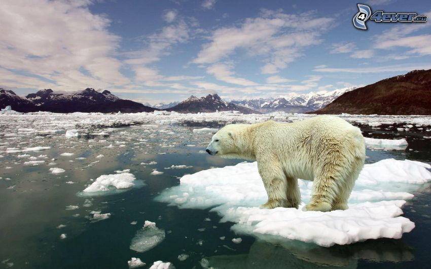 niedźwiedź polarny, kry, Ocean Arktyczny, śnieg