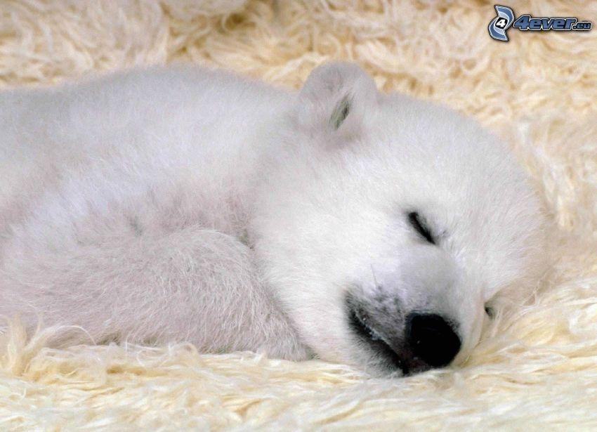 niedźwiedź polarny, młode, spanie