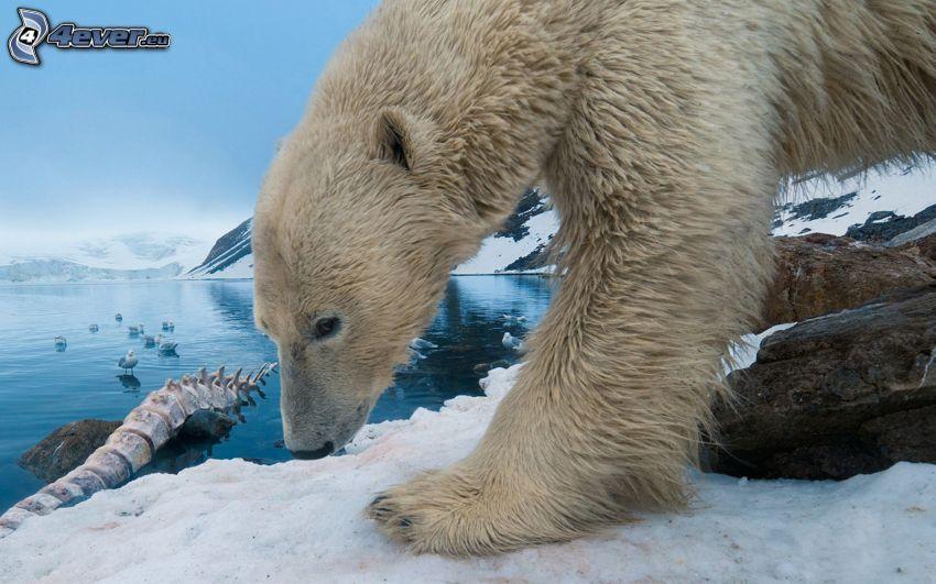 niedźwiedź polarny, Ocean Arktyczny, śnieg