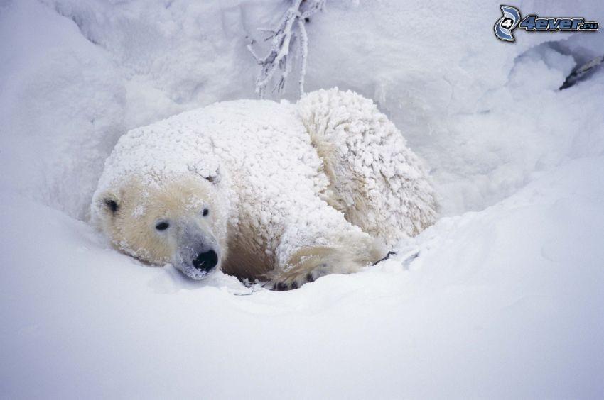 niedźwiedź polarny, śnieg