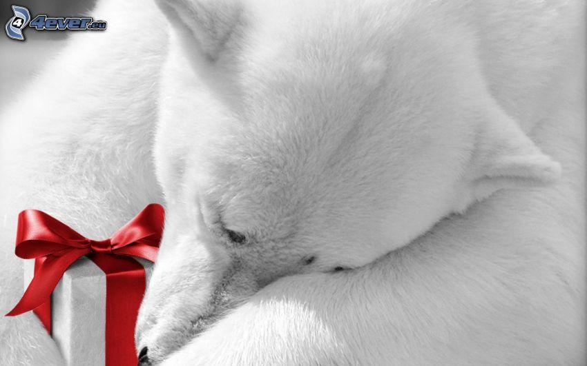 niedźwiedź polarny, spanie, prezent