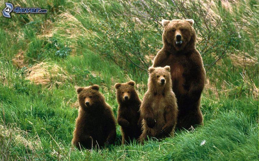 niedźwiedzie, młode, rodzina, trawa