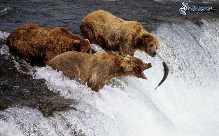 niedźwiedzie nad wodospadem, połów, ryba, łosoś