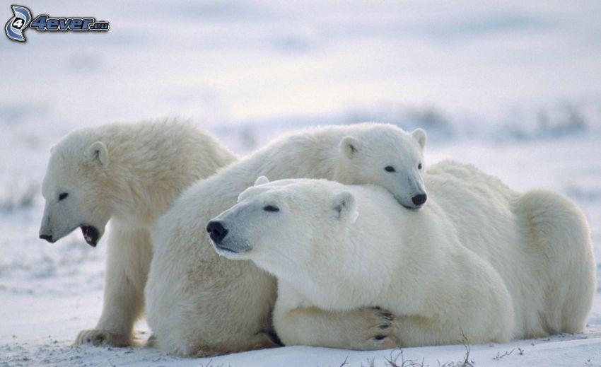 niedźwiedzie polarne, młode, śnieg