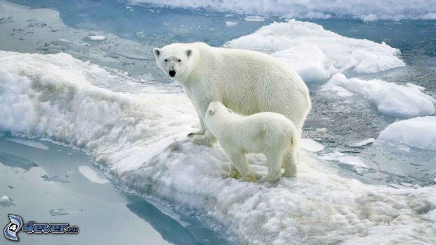 niedźwiedzie polarne