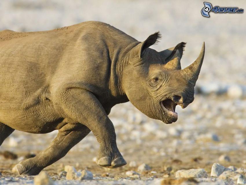 nosorożec, bieg