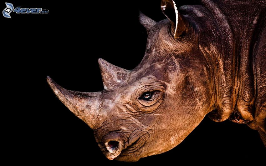 nosorożec, głowa